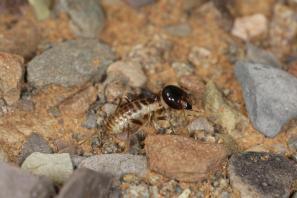 Hodotermitidae
