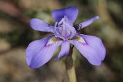 Moraea setifolia