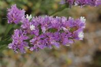 Geflügelter Strandflieder / Perennial sea-lavender / Limonium sinuatum