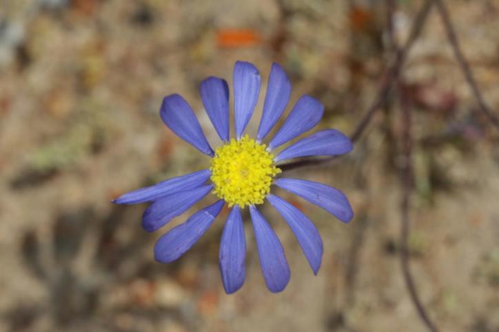 Felicia australis