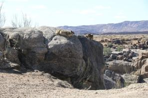 Klippschliefer / Rock hyrax, Cape hyrax, Rock badger, Rock dassie / Procavia capensis