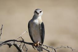 Gleitaar / Black-shouldered kite / Elanus caeruleus