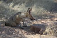 Kapfuchs / Cape fox / Vulpes chama