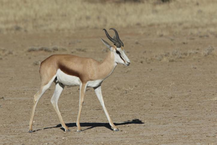 Kalahari-Springbock / Antidorcas hofmeyri