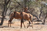 Sassaby / Common Tsessebe / Damaliscus lunatus