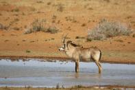 Pferdeantilope / Roan Antelope / Hippotragus equinus