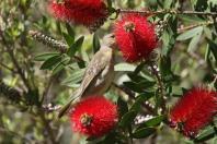 Kapweber / Cape weaver / Ploceus capensis