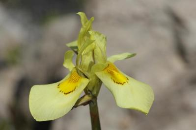 Moraea neglecta