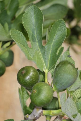 Echte Feige / Common Fig / Ficus carica