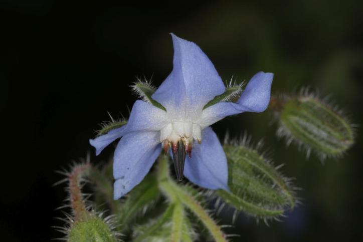 Borretsch / Borage / Borago officinalis