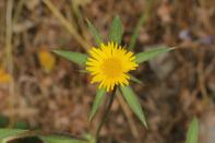Stechendes Sternauge / Spiny Starwort, Spiny Golden Star / Pallenis spinosa