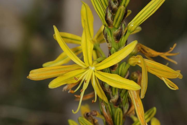 Gelber Affodill, Gelbe Junkerlilie / King's spear, Yellow asphodel / Asphodeline lutea