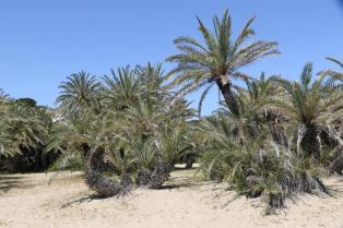 Kretische Dattelpalme / Cretan Date Palm / Phoenix theophrasti