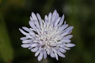 Skabiosen / Pincushion flowers / Scabiosa