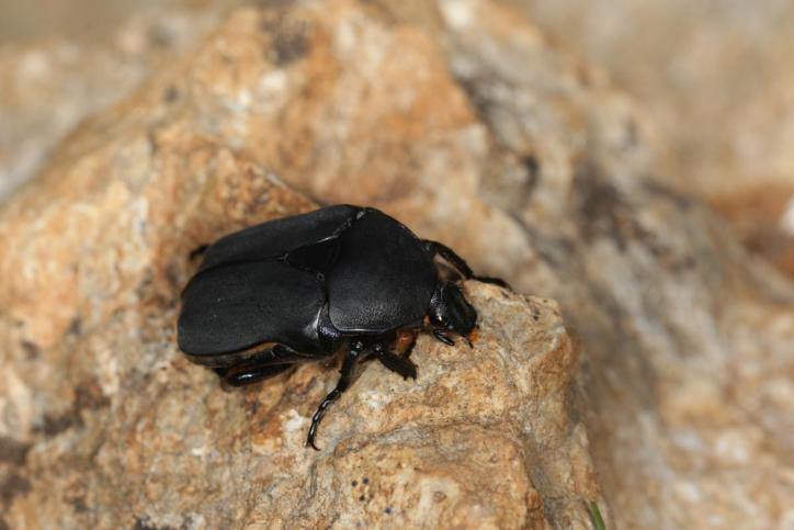 Black chafer / Black chafer / Protaetia opcaca, Potosia opaca