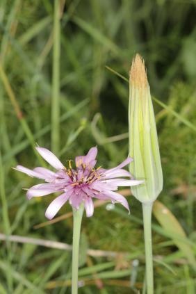 Haferwurzel / Salsify, Oyster plant, Purple salsify / Tragopogon porrifolius