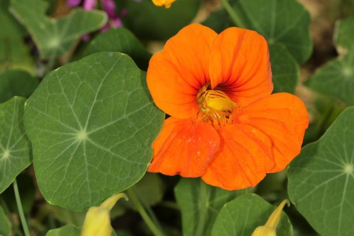Große Kapuzinerkresse / Garden Nasturtium, Indian Cress, Monks Cress / Tropaeolum majus