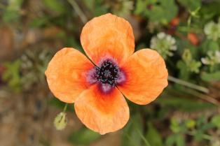 Sand-Mohn / Long pricklyhead poppy, Pale poppy, Prickly poppy / Papaver argemone