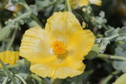 Gelber Hornmohn / Yellow horned poppy / Glaucium flavum