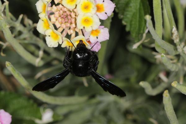 Große Holzbiene, Violettflügelige Holzbiene / Violet carpenter bee / Xylocopa violacea