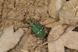 Feld-Sandlaufkäfer / Green tiger beetle / Cicindela campestris