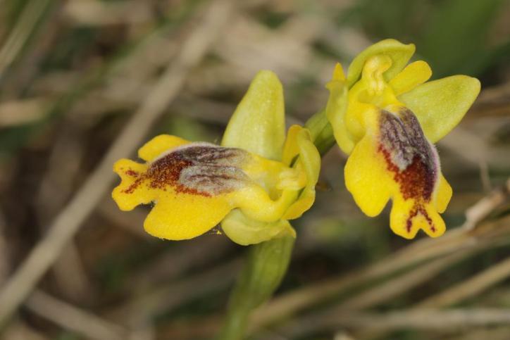Phyrgana-Ragwurz / Ophrys phyrganae