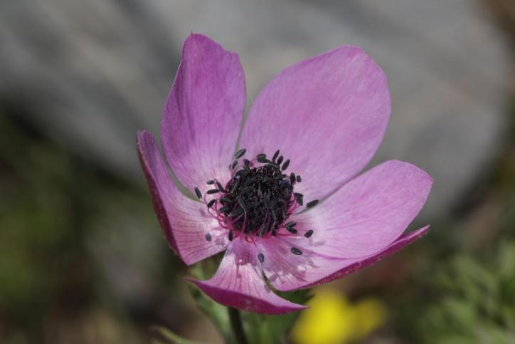 Kronen-Anemone, Garten-Anemone / Poppy anemone / Anemone coronaria