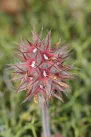 Sternklee / Starry clover / Trifolium stellatum