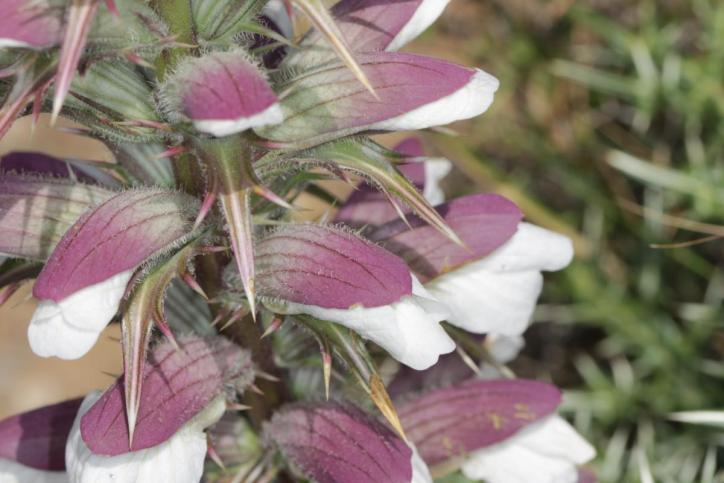 Dorniger Akanthus / Spiny bear's breeches / Acanthus spinosus