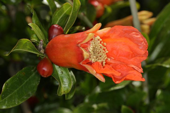 Granatapfel / Pomegranate / Punica granatum