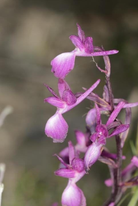 Dreiknollen-Knabenkraut / Anacamptis morio ssp. champagneuxii