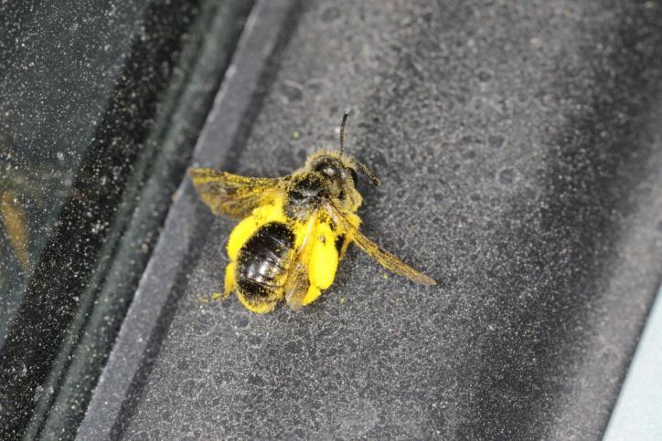 Westliche Honigbiene, Europäische Honigbiene / Western honeybee / Apis mellifera