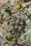 Wunderbaum, Rizinusstrauch / Castor oil plant / Ricinus communis