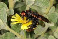 Gelbköpfige Dolchwespe, Rotstirnige Dolchwespe / Megascolia maculata