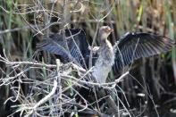 Riedscharbe / Reed cormorant, Long-tailed cormorant / Microcarbo africanus, Phalacrocorax africanus