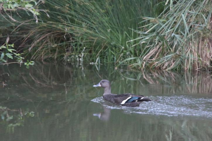 Schwarzente / African Black Duck / Anas sparsa