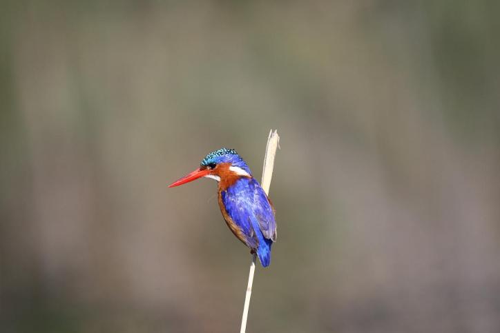 Haubenzwergfischer, Malachiteisvogel / Malachite kingfisher / Corythornis cristatus, Alcedo cristata