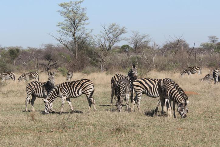 Burchell-Zebra / Burchell's zebra / Equus quagga burchellii