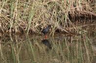 Mohrensumpfhuhn, Schwarzkielralle / Black crake / Amaurornis flavirostra, Zapornia flavirostra