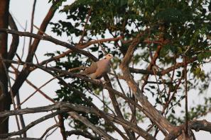 Kapturteltaube / Ring-necked dove, Cape turtle dove, Half-collared dove / Streptopelia capicola