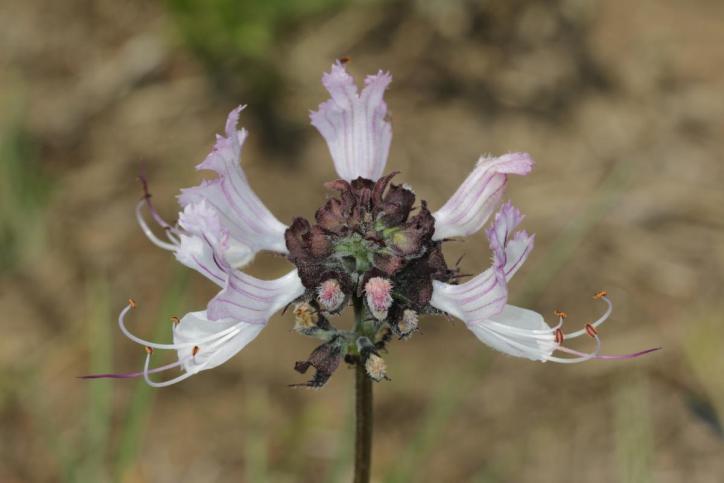 Zweikeimblättrige / Dicots / Dicotyledoneae