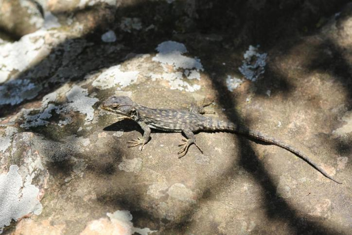 Gürtelechsen, Gürtelschweife, Wirtelschweife / Girdled lizards, Spinytail lizards, Girdle-tail lizards / Cordylidae