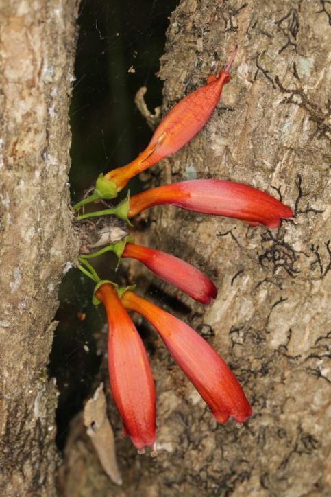Tree fuchsia / Halleria lucida