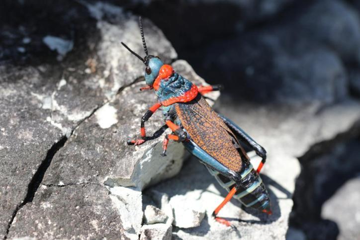 Schaumheuschrecke / Koppie foam grasshopper / Dictyophorus spumans