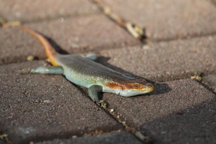 Five-lined Mabuya / Trachylepis quinquetaeniata, Mabuya quinquetaeniata