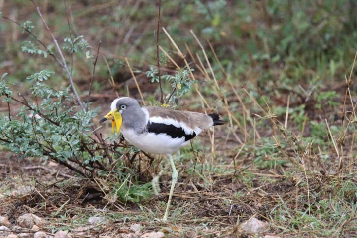 Weißscheitelkiebitz / White-headed lapwing, White-headed plover, White-crowned plover / Vanellus albiceps