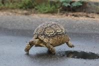 Pantherschildkröte / Leopard tortoise / Stigmochelys pardalis