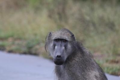 Bärenpavian, Tschakma / Chacma Baboon / Papio ursinus