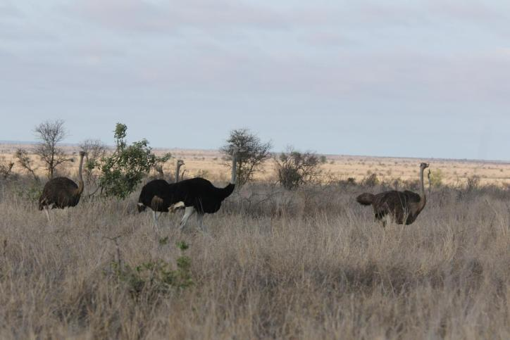 Südafrikanischer Strauß, Blauhalsstrauß / South African Ostrich / Struthio camelus australis