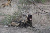 Afrikanischer Wildhund / African wild dog / Lycaon pictus